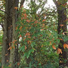 1st. signs of fall  color,,, Taken at my farm Richland Twd.<br /> <br /> Photographer's Name: J.R. Rosencrans<br /> Photographer's City and State: Alexandria, IN