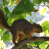 "A ""scaredy cat"" squirrel along Killbuck Creek at my farm in Richland Township.<br /> <br /> Photographer's Name: J.R.  Rosencrans<br /> Photographer's City and State: Alexandria, Ind."