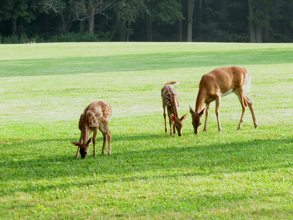 A doe with twin fawns at Mounds State Park Tuesday, Aug. 5.<br /> <br /> Photographer's Name: Pete Domery<br /> Photographer's City and State: Markleville, Ind.