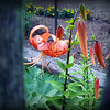 A neighbor's tiger lily peeking through our fence.<br /> <br /> Photographer's Name: Debra Howell<br /> Photographer's City and State: Pendleton, Ind.