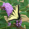 Tiger swallowtail on a butterfly bush near the Emporia grain elevator.<br /> <br /> Photographer's Name: Pete Domery<br /> Photographer's City and State: Markleville, Ind.