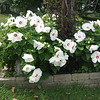 A white hibiscus in full bloom.<br /> <br /> Photographer's Name: Rex Rice<br /> Photographer's City and State: Middletown, Ind.