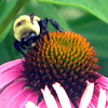 This guy is getting his lunch on a cone flower.<br /> <br /> Photographer's Name: Rita Drews<br /> Photographer's City and State: Anderson, Ind.