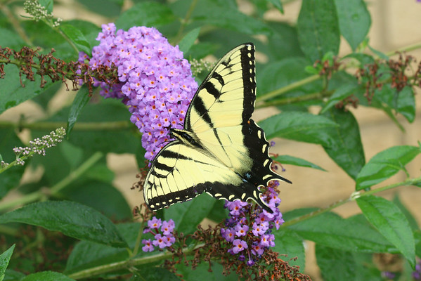 A Tiger Swallowtail on a butterfly bush.<br /> <br /> Photographer's Name: Pete Domery<br /> Photographer's City and State: Markleville, Ind.