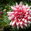 A beautiful dahlia in a friend's yard.<br /> <br /> Photographer's Name: Debra Howell<br /> Photographer's City and State: Pendleton, Ind.