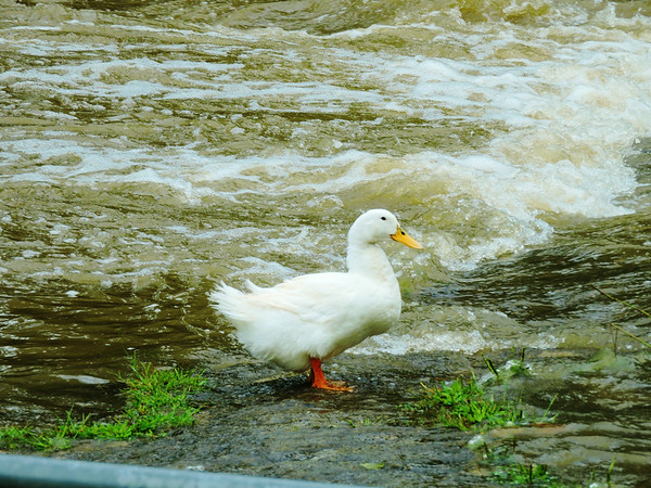 After heavy rains, a duck is not challenging the swirling water at Fall Creek Park.<br /> <br /> Photographer's Name: Sharon Markle<br /> Photographer's City and State: Markleville, Ind.