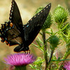 Recently took this photo of a beautiful swallowtail in Pennsylvania.<br /> <br /> Photographer's Name: Rita Drews<br /> Photographer's City and State: Anderson, Ind.