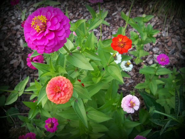 A zinnia blooming in the garden.<br /> <br /> Photographer's Name: Debra Howell<br /> Photographer's City and State: Pendleton, Ind.