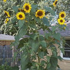 Our largest sunflower with up to 45 blooms this year.<br /> <br /> Photographer's Name: Marlo Smith<br /> Photographer's City and State: Anderson, Ind.