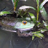 """Farm pond frog"" at my farm in Richland Township.<br /> <br /> Photographer's Name: J.R. Rosencrans<br /> Photographer's City and State: Alexandria, Ind."