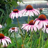 Summer beauty: coneflowers by the lake.<br /> <br /> Photographer's Name: Rita Drews<br /> Photographer's City and State: Anderson, Ind.