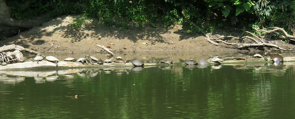 A log in the White River with 22 turtles.<br /> <br /> Photographer's Name: Pete Domery<br /> Photographer's City and State: Markleville, Ind.