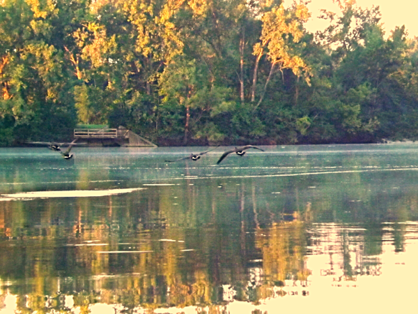 Canada geese at at Shadyside Lake.<br /> <br /> Photographer's Name: J.R. Rosencrans<br /> Photographer's City and State: Alexandria, Ind.