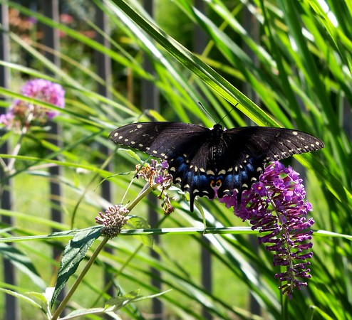 A butterfly enjoying the butterfly bush in my garden.<br /> <br /> Photographer's Name: Debra Howell<br /> Photographer's City and State: Pendleton, Ind.