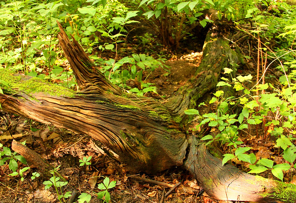 A favorite interesting log in the woods at Mounds Park always catches my attention.<br /> <br /> Photographer's Name: Jerry Byard<br /> Photographer's City and State: Anderson, Ind.