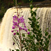 This is a photograph of wildflowers that grow on the bank near the flowing Tahquamenon Falls at the Michigan State Park.<br /> <br /> Photographer's Name: Jerry Byard<br /> Photographer's City and State: Anderson, Ind.