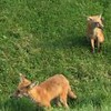 Two young foxes sited recently near 43rd Street and Alhambra Drive.<br /> <br /> Photographer's Name: Phil McDonald<br /> Photographer's City and State: Anderson, Ind.