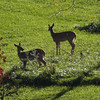 Backyard visitors at my farm in Richland Township.<br /> <br /> Photographer's Name: J.R. Rosencrans<br /> Photographer's City and State: Alexandria, Ind.