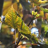A sunlit leaf.<br /> <br /> Photographer's Name: Harry Van Noy<br /> Photographer's City and State: Lafayette Township, Ind.