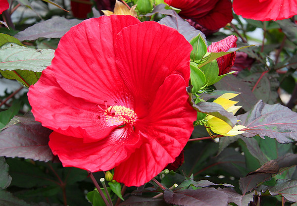 A friend's hibiscus plant in my neighborhood.<br /> <br /> Photographer's Name: Jerry Byard<br /> Photographer's City and State: Anderson, Ind.