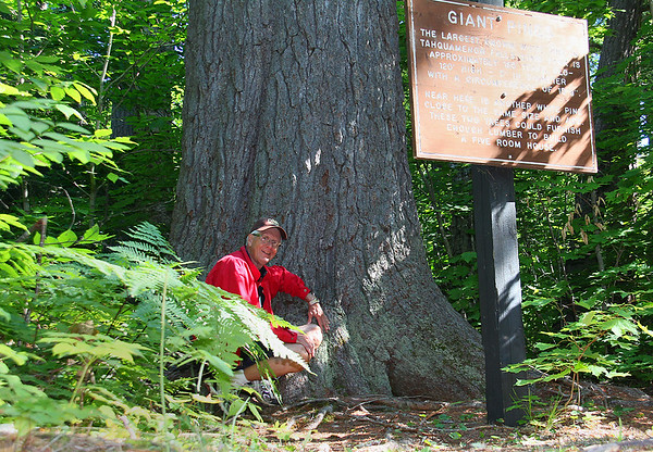 Showing the relative size of one of the largest remaining White Pine Trees in Upper Michigan at Tahquamenon Falls State Park.<br /> <br /> Photographer's Name: Jerry Byard<br /> Photographer's City and State: Anderson, Ind.