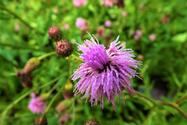 Just a ugly weed?  Not when you take its photograph.<br /> <br /> Photographer's Name: J.R. Rosencrans<br /> Photographer's City and State: Alexandria, Ind.