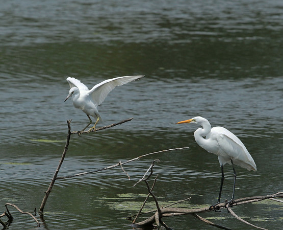 A rare little blue heron on the left in Frankfort on Sunday Aug. 21.<br /> <br /> Photographer's Name: Pete Domery<br /> Photographer's City and State: Anderson, Ind.