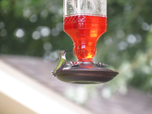 Hummingbird at the feeder.<br /> <br /> Photographer's Name: Harry Van Noy<br /> Photographer's City and State: Lafayette Township, Ind.