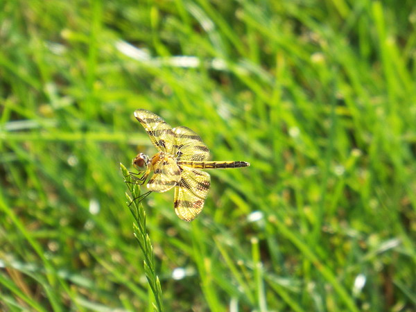 A dragonfly on a blade of grass in my yard.<br /> <br /> Photographer's Name: Brad Willing<br /> Photographer's City and State: Anderson, Ind.