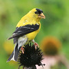A goldfinch eating coneflower seed in Mounds Park on a recent sunny day.<br /> <br /> Photographer's Name: Pete Domery<br /> Photographer's City and State: Markleville, Ind.
