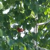 Father cardinal in a tree near baby cardinal in its nest.<br /> <br /> Photographer's Name: Mike McDonald<br /> Photographer's City and State: Anderson, Ind.
