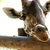 A giraffe at the Fort Wayne Zoo.<br /> <br /> Photographer's Name: Morgan Elbert<br /> Photographer's City and State: Alexandria, Ind.