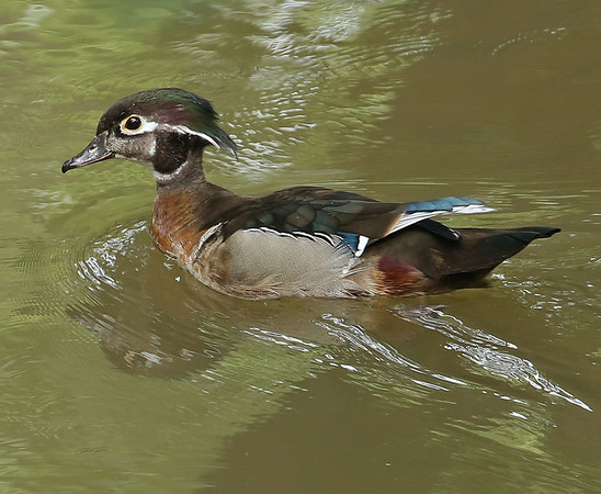 A wood duck in Killbuck Creek next to Shadyside Park on Aug. 18.<br /> <br /> Photographer's Name: Pete Domery<br /> Photographer's City and State: Markleville, Ind.