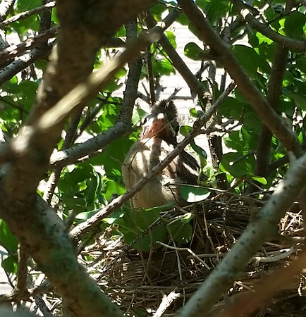 Baby cardinal in its nest.<br /> <br /> Photographer's Name: Mike McDonald<br /> Photographer's City and State: Anderson, Ind.