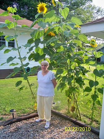 Mary Dodd standing in front of her sunflowers she planted. <br /> <br /> Photographer's Name: Pete Dodd<br /> Photographer's City and State: Anderson, IN