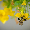Bee on my flowers<br /> <br /> Photographer's Name: Terry Lynn Ayers<br /> Photographer's City and State: Anderson, Ind.