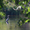A heron waits for a meal in a stream in Michigan.<br /> <br /> Photographer's Name: Jerry Byard<br /> Photographer's City and State: Anderson, Ind.