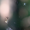 A spider working on a web at Mounds Park.<br /> <br /> Photographer's Name: Jerry Byard<br /> Photographer's City and State: Anderson, Ind.