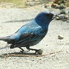 An indigo bunting paying a rare visit.<br /> <br /> Photographer's Name: Sharon Markle<br /> Photographer's City and State: Markleville, Ind.