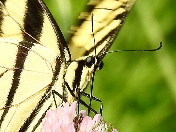 Swallowtail butterfly using his built-in straw on a clover.<br /> <br /> Photographer's Name: Sharon Markle<br /> Photographer's City and State: Markleville, Ind.
