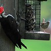 Photo my husband took of a pileated woodpecker and a wren having a face off over the bird feeder.<br /> <br /> Photographer's Name: Debra Howell<br /> Photographer's City and State: Pendleton, Ind.
