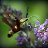 Hummingbird moth on our butterfly bush, photo by Allan L. Howell and Debra Howell.<br /> <br /> Photographer's Name: Debra Howell<br /> Photographer's City and State: Pendleton, Ind.