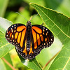 A butterfly at Mounds Park on a sweet gum tree leaf.<br /> <br /> Photographer's Name: Jerry Byard<br /> Photographer's City and State: Anderson, Ind.