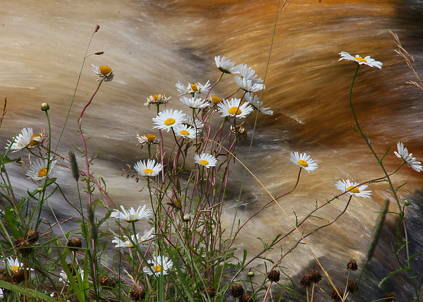 Daisies growing on the brink of Tahquamenon Falls.<br /> <br /> Photographer's Name: Jerry Byard<br /> Photographer's City and State: Anderson, Ind.