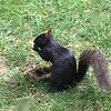 A black squirrel digging up an acorn in our back yard.<br /> <br /> Photographer's Name: Charles R. Shumate<br /> Photographer's City and State: Anderson, Ind.