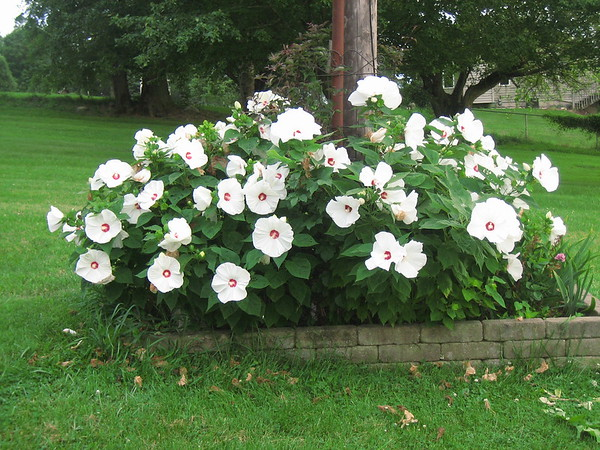 White hibiscus in full bloom<br /> <br /> Photographer's Name: Rex Rice<br /> Photographer's City and State: Middletown, Ind.
