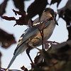 A hiding blue jay.<br /> <br /> Photographer's Name: Harry Van Noy<br /> Photographer's City and State: Lafayette Township, Ind.