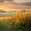 Sunrise throught the corn with some fog.  <br /> <br /> Photographer's Name: Terry Lynn Ayers<br /> Photographer's City and State: Anderson, Ind.