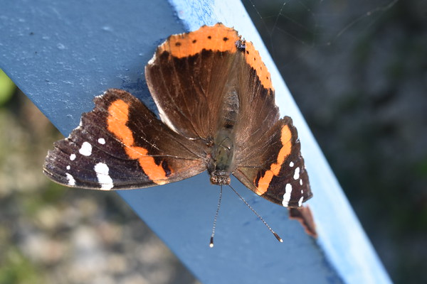 A butterfly speading its wings on the walking bridge over White River.<br /> <br /> Photographer's Name: Hasrry Van Noy<br /> Photographer's City and State: Lafayette Township, Ind.