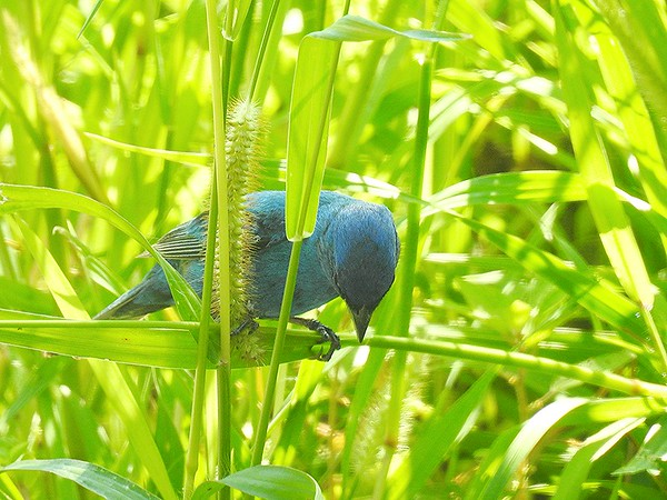 Indigo bunting still looking for grass seeds<br /> <br /> Photographer's Name: Sharon Markle<br /> Photographer's City and State: Markleville, Ind.